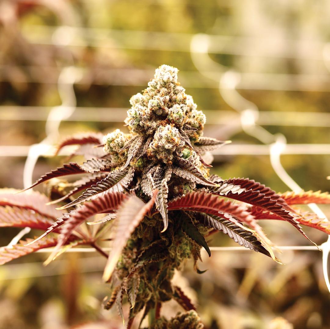 Cannabis Image Marketing